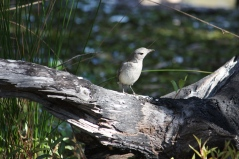 Grey Shrike-thrush - Binnowee (Qld)