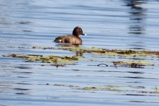 Hardhead (White-eyed) Duck - Binnowee (Qld)