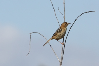 Little Grassbird - Binnowee (Qld)