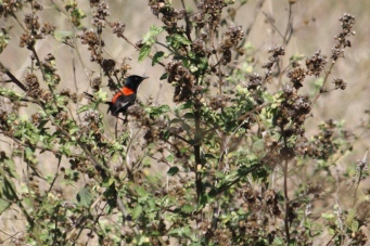 Red-backed Fairy Wren - Male - Binnowee (Qld)