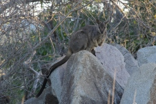 Charters Towers - Towers Hill - Allied Rock Wallaby (Qld)