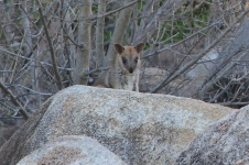 Charters Towers - Towers Hill -Allied Rock Wallaby (Qld)