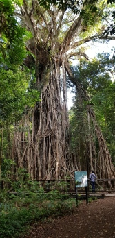 Cathedral Fig - Fong-On Bay Area (Qld)