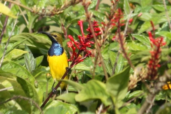 Olive-backed Sunbird - Male - East Palmerston (Qld)