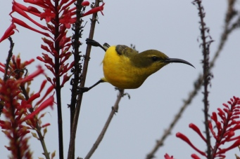Olive-backed Sunbird - Female - East Palmerston (Qld)