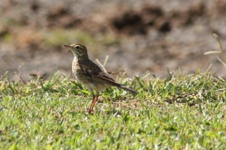 Australasian Pipit- East Palmerston (Qld)