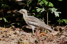 Bush Stone-curlew - Nerada Tea Plantation, Malanda (Qld)