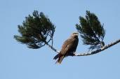 Black Kite - Millaa Millaa (Qld)