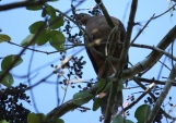 Brown Cuckoo-Dove - Yungaburra (Qld)