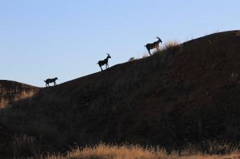 Ravenswood - Metal Goats (Qld)