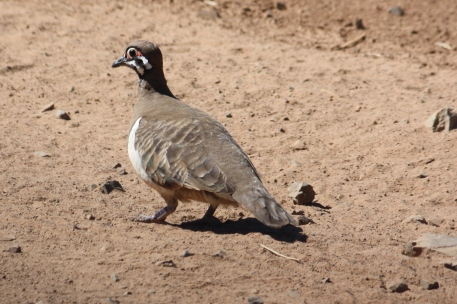 Squatter Pigeon - Chillagoe (Qld)
