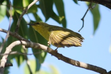 Yellow Honeyeater - Dimbulah (Qld)