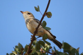 Rufous Whistler - Female - Cumberland Chimney (Qld)