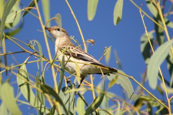 White-winged Triller - Female - Cumberland Chimney (Qld)