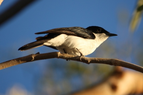 Restless Flycatcher - Cumberland Chimney (Qld)