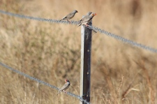 Zebra Finches - Cumberland Chimney (Qld)