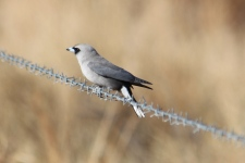 Black-faced Woodswallow - Cumberland Chimney (Qld)