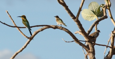 Rainbow Bee-eater, Diamond Dove and Horsfield's Bronze-Cuckoo - Cumberland Chimney (Qld)