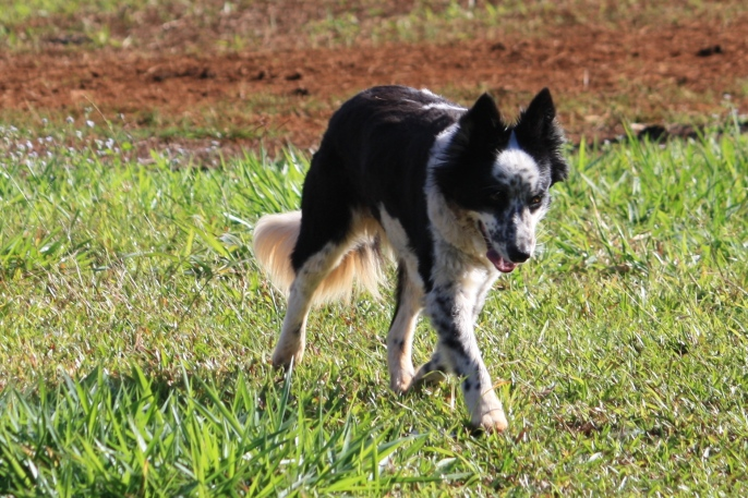 East Palmerston - Kipsie, Our Constant Companion (Qld)