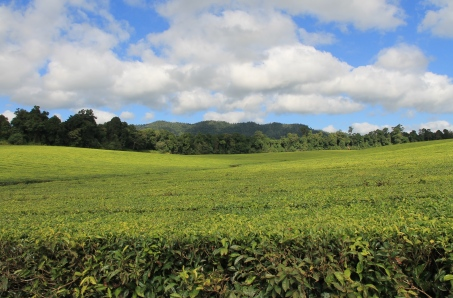 East Palmerston - Nucifora Tea Plantation (Qld)