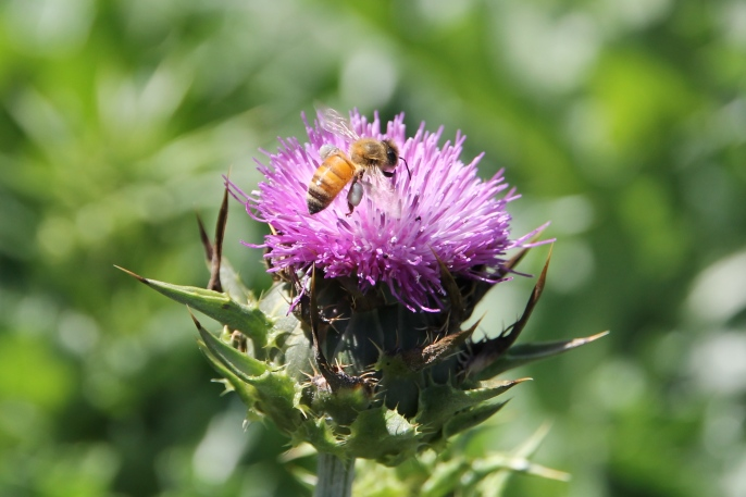 Bee On Thistle - Canowindra (NSW)