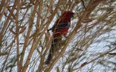 Crimson Rosella - Tenterfield (NSW)