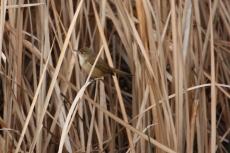 Australian Reed Warbler - Wallabadah (NSW)