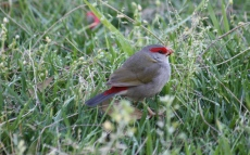 Red-browed Finch - Canowindra (NSW)