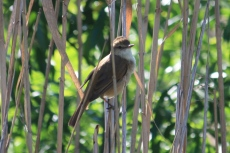 Australian Reed Warbler - Canowindra (NSW)