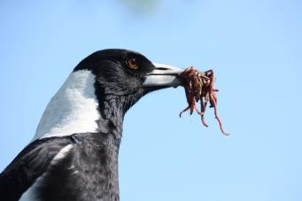 Australian Magpie - Canowindra (NSW)