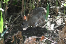 Rabbit - Canowindra (NSW)