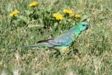 Red-rumped Parrot - Canowindra (NSW)