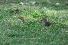 Red-browed Finches - Canowindra (NSW)