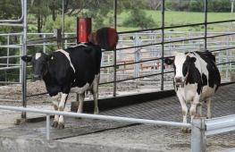Pyengana Dairy - 'Having A Well Earned Backscratch' (Tas)