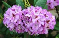 Flowers - The Conservatory Gardens, Rosalind Park, Bendigo (Vic)