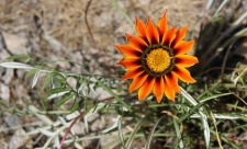 Bridgewater Railway Station - African Daisy (Vic)