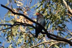 Dollarbird - Doolans Bend (Vic)