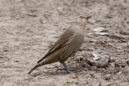 Brown Treecreeper - Female - Doolans Bend (Vic)