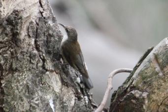 White-throated Treecreeper - Doolans Bend (Vic)