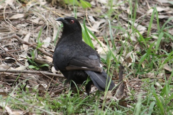 White-winged Chough - Doolans Bend (Vic)