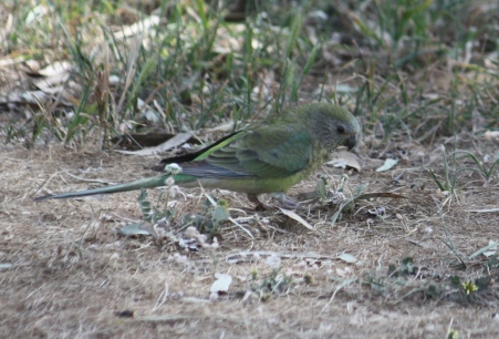 Red-rumped Parrot - Female - Laanecoorie (Vic)