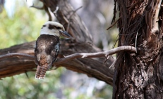 Laughing Kookaburra - Riddells Creek (Vic)