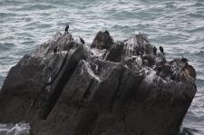 Black-faced Cormorants - Mersey Bluff, Devonport (Tas)