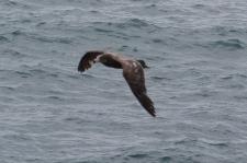 Pacific Gull - Immature - Mersey Bluff, Devonport (Tas)