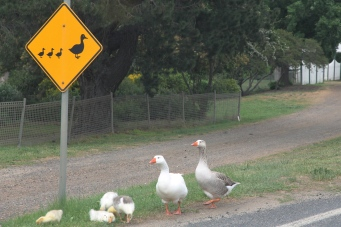 """Geese Crossing - """"Is it safe to cross now?"""" - Riddells Creek (Vic)"""