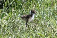 Masked Lapwing - Chick - Race novaehollandiae - Latrobe (Tas)