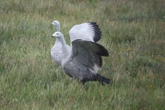 Cape Barren Geese - Petal Point Area (Tas)