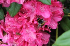 Latrobe - House Of Anvers - Bees on Rhododendron (Tas)