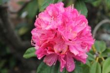 Latrobe - Rhododendron (TAS)