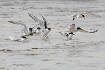 Greater Crested Terns - Anson Bay Area (Tas)
